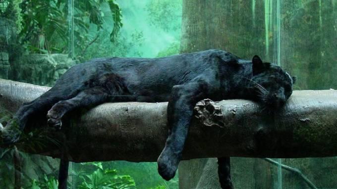 Сказки дома 2. Черная Пантера и краснорожая креветка